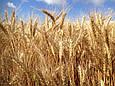 Семена озимой пшеницы Антара (1 репродукция), фото 2