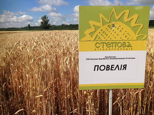 Семена озимой пшеницы Повелия (1 репродукция)