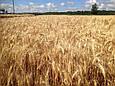 Семена озимой пшеницы Благодарка Одесская (Элита), фото 2