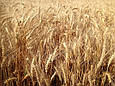 Семена озимой пшеницы Эпоха Одесская (Элита), фото 2