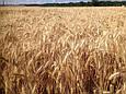 Семена озимой пшеницы Ужинок (Супер Элита), фото 2