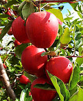 Плодовые деревья яблоня Гала Шнига