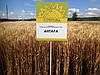 Семена озимой пшеницы Антара (Элита)