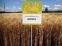 Семена озимой пшеницы Антара (Элита), фото 1