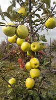 Плодовые деревья яблоня Тентейшн