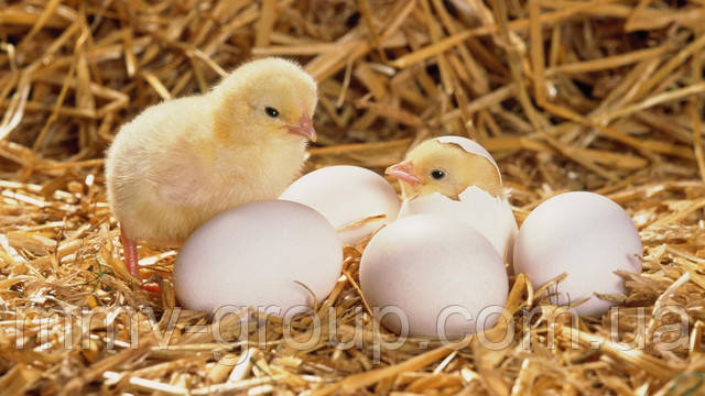 Инкубаторы для домашнего выведения птенцов