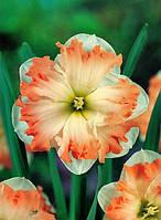 Нарцисс разрезнокорончатый Walz 2 луковицы