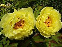 Пион ИТО Yellow Crown (Йеллоу Краун) корневище в пакете