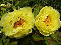 Пион ИТО Yellow Crown / Йеллоу Краун / 1 корневище