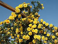 Роза Эмели Грей вьющая