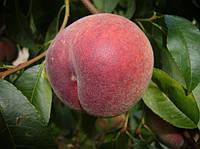 Плодовые деревья персик Руби Принц