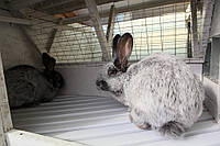 Кролики породы Большое Светлое Серебро (БСС. Евросеребро)