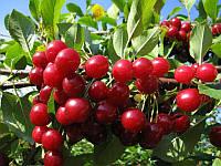 Плодовые деревья вишня Норд Стар
