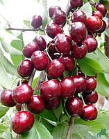 Плодовые деревья вишня Лутовка