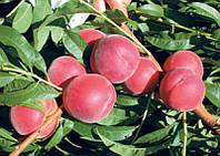 Плодовые деревья Персик Флеминг Фьюри PF-23