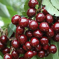Плодовые деревья черешня Скина