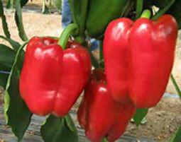 Семена перца Красный рыцарь F1 500 шт.