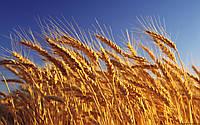Семена озимой пшеницы Благодарка Одесская