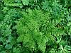 Папоротник кочедыжник женскийAthyrium filix-femina (саженцы)