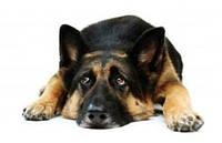 Клещ у собаки: симптомы и лечение