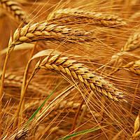 Семена озимой пшеницы Кормилица Одесская Элита