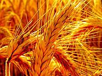 Озимая пшеница Балатон от компании Пробстдорфер
