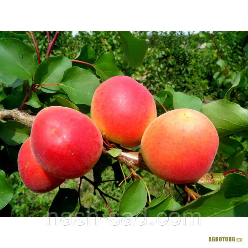 Саженцы абрикоса Перла (Чехия)