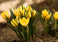 Крокус Крупноцветковый желтый Yellow, купить луковичные растения