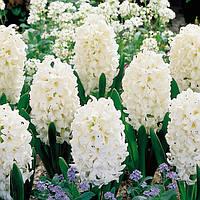 Гиацинт Carnegie, купить луковичные растения