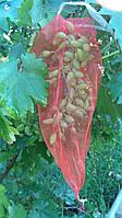 Сетка на виноград (мешки от ос на виноград ) на 2 кг, 22*30 см