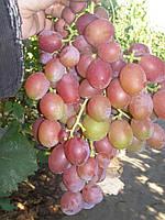 Саженцы винограда Дюжина