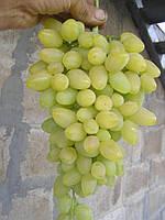 Саженцы винограда Зарница(очень ранний)
