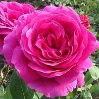 Роза «Биг Перпл» (Big Purple)