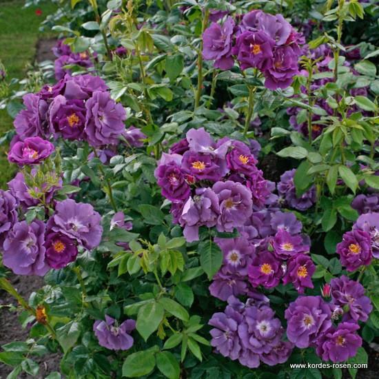 Роза плетистая Вельхенблау