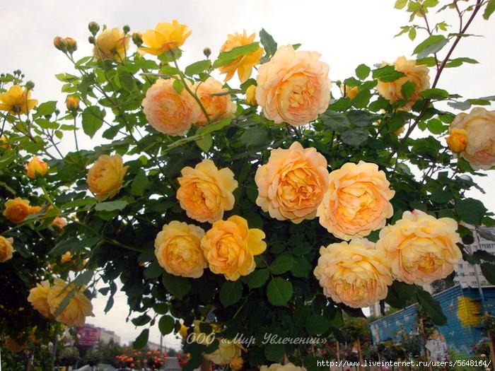 Роза плетистая Голден Гейт