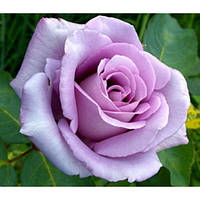 Роза Блек блю