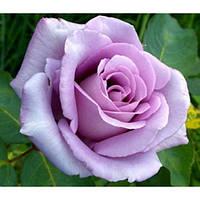 Роза Блек блю, фото 1