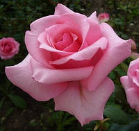 Роза Карина (Carina)