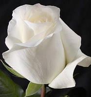 Роза Поло (Polo), фото 1