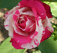 Роза Сатина (Satina), фото 1
