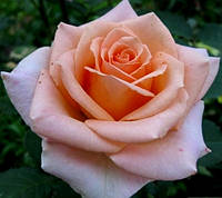 Роза Версилия (Versilia), фото 1