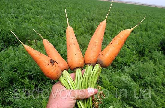 Морковь Шантоне роял
