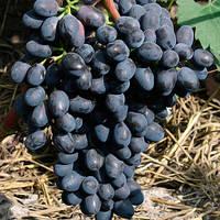Саженец винограда Чарли (очень ранний)