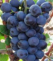 Саженец винограда Герцог  (ранний )