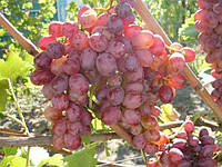 Саженцы винограда Скарлет Роял