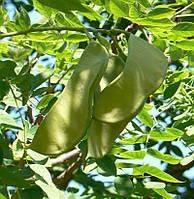Бундук двудомный(Кофейное дерево)