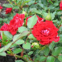 Роза миниатюрная Мэйди