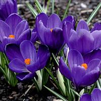 Крокус Крупноцветковый Flower Record 5 луковиц, фото 1