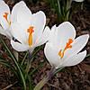 Крокус Крупноцветковый Jeanne d 'Ark (Жанна Д'Арк) 5 луковиц