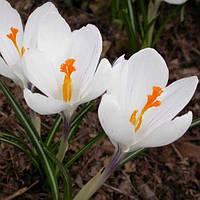 Крокус Крупноцветковый Jeanne d 'Ark (Жанна Д'Арк) 5 луковиц, фото 1